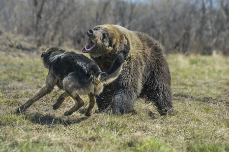 dog salmon: A brown bear in the forest. Big Brown Bear with dog