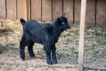 gramma: Goat Closeup laying on the grass feeding