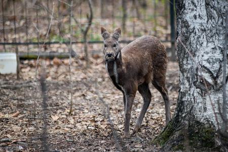 feeds: Woman feeds a siberian musk deer from her hand Stock Photo