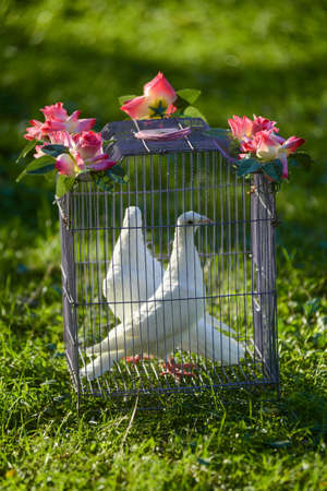 destination wedding: two white wedding pigeons in cage on the green grass Stock Photo