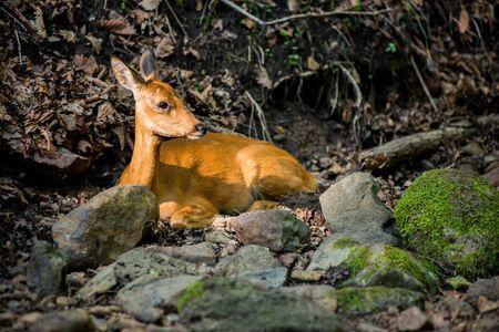 western european: European roe deer western roe deer, chevreuil, or roe deer