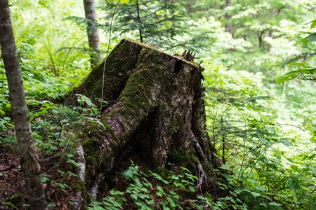 daybreak: an old stump in the mountainous humid forest in the early morning in the woods