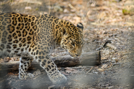 Far-Eastern leopard strong fast wild animal Stock Photo