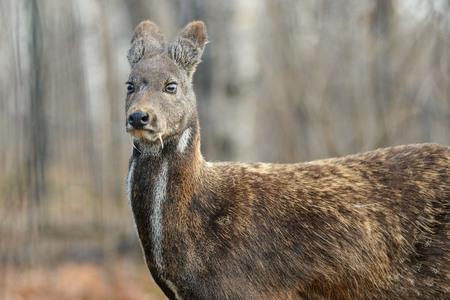 シベリアのジャコウジカは動物の珍しいペアを有蹄類