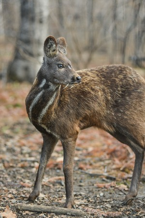 Siberian musk deer hoofed animal rare pair Stock Photo