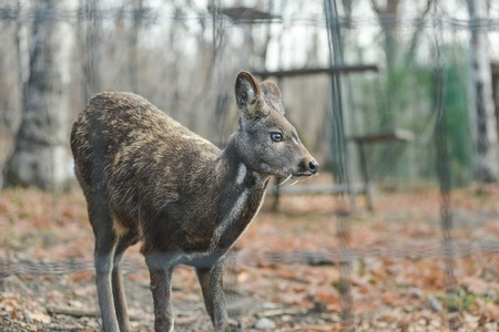 Siberian musk deer hoofed animal rare pair Stock fotó