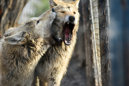 Closeup of grey wolfs with yellow eyes looking from wire netting sunny day outdoor
