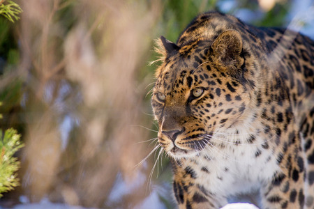 far Eastern leopard in winter the predator is a dangerous animal