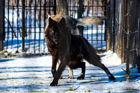 black wolf in the snow in a cage Stock Photo