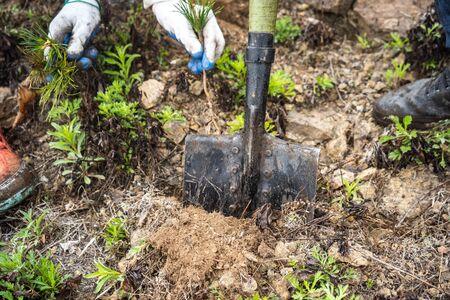 planting cedar seedlings. cedar. seedlings close-up green