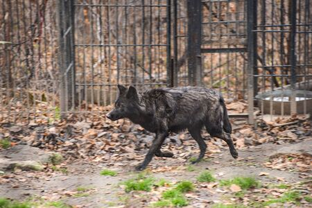 black wolf in the snow in a cage Stockfoto - 133472726