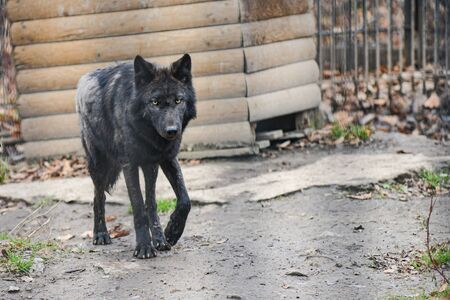 black wolf in the snow in a cage Stockfoto