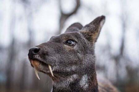 Siberian musk deer, a rare pair hoofed animal with fangs