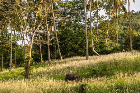 A buffalo with large horns grazes on the lawn in a green tropical jungle 写真素材