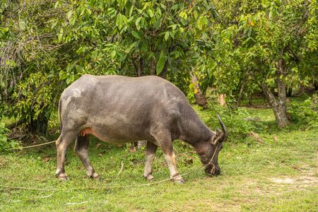 A buffalo with large horns grazes on the lawn in a green tropical jungle. 写真素材