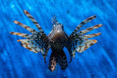 Fish Lion, Lionfish Warrior, Fish Zebra. seaquarium