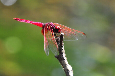 dropwing: A red dragonfly