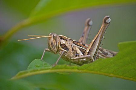 Grasshopper in my home.