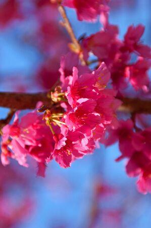 Sakura flower at Doi Ang Kang, Chaing Mai, Thailand. Stock Photo