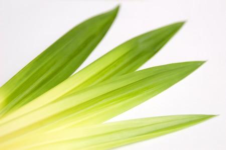 Pandan leaf on isolate.
