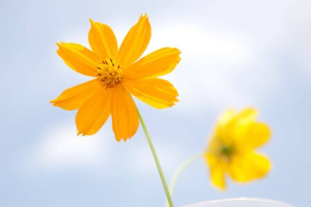 Orange and yellow cosmos on sky background, Thailand.