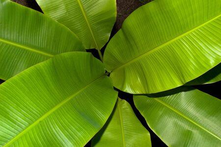 Banana leaves in my garden. photo