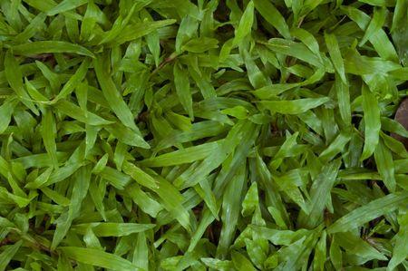 Grass leaf in my garden. Stock Photo