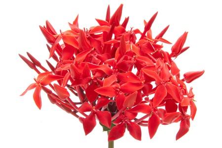 Ixora flower on isolate background.
