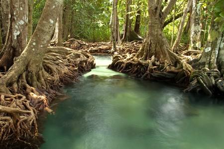 Swamp forest at Tha Pom, Krabi, Thailand. Stock Photo