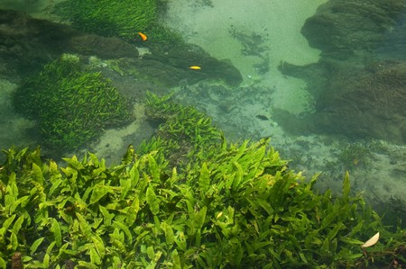 Seaweed in swamp forest at Tha Pom, Krabi, Thailand.