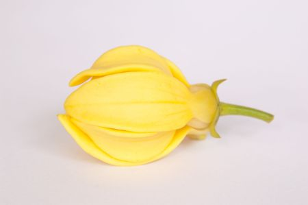 Ylang-Ylang flower on isolate background. Stock Photo