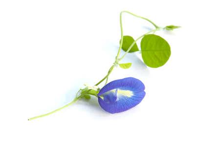 Clitoria ternatea flower and leaf on isolate background.
