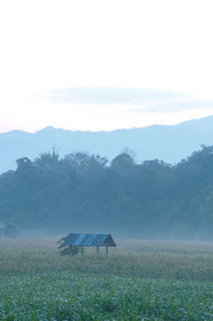 Corn farm in the morning at  Northern, Thailand. Stock Photo - 8719102