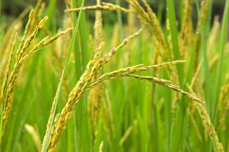 Closeup of Rice Northern, Thailand. Фото со стока