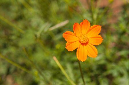 Orange cosmos in my garden.