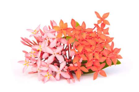 thialand: Ixora flower on isolate background