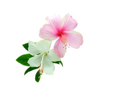 A hibiscus pink and red flower on isolate background