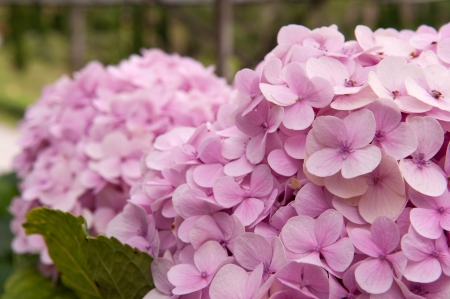 southern of thailand: Hydrangea flower at Southern, Thailand