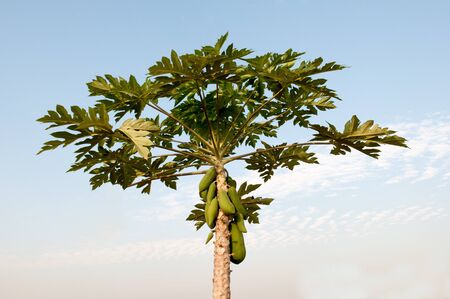 Papaya tree and fruit in the morning