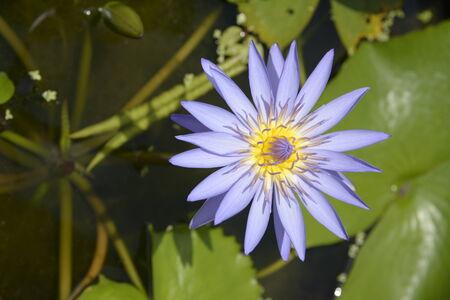 A blossom purple lotus, Thailand