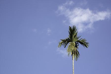 Betel palm and nice sky.