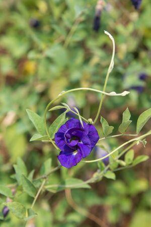 A purple pea flower in my graden.