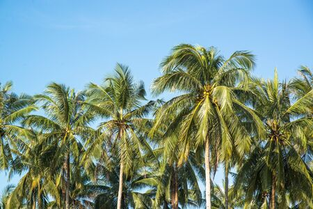 farm background: Coconut farm in Southern of Thailand.