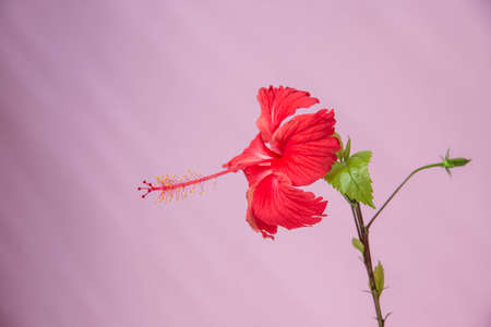 Red hibiscus and leaves and wall background.