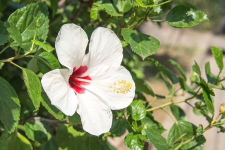 Blooming White Hibiscus Flower in Thailand. Stock Photo