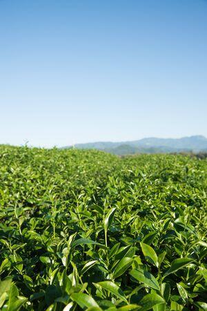 Tea farm on mountain, Thailand. Stock Photo