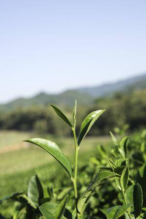 elites: Green tea leaves for good healthy.