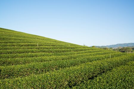 Tea farm on mountain, Thailand. Stock Photo