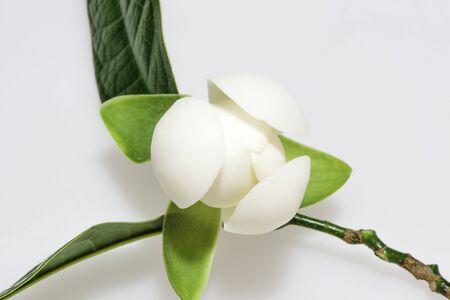 Closeup Magnolia flower on isolated background.