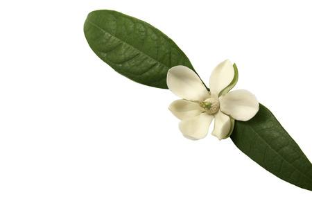 White magnolia flower on isolated background.